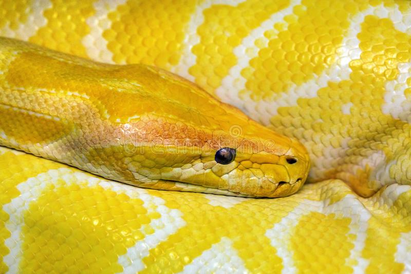 Colorful patterns and head of gold boa. royalty free stock images