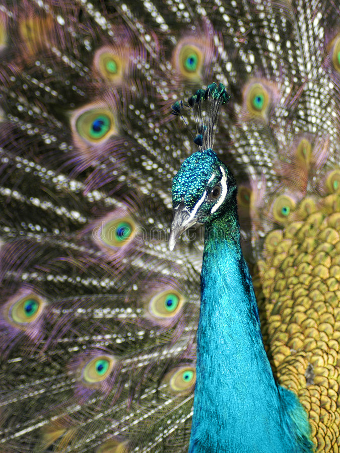 Colorful Peacock royalty free stock image
