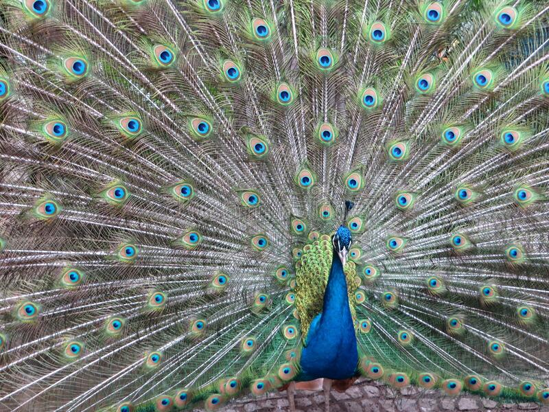 Colorful Peacock royalty free stock photography
