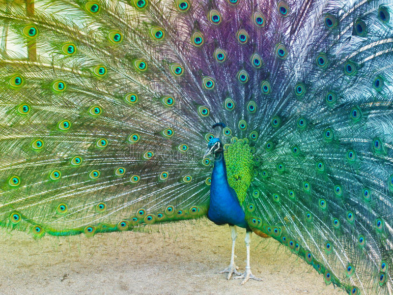Colorful Peacock. Bright colorful peacock with its colorful tail feathers fully opened stock image