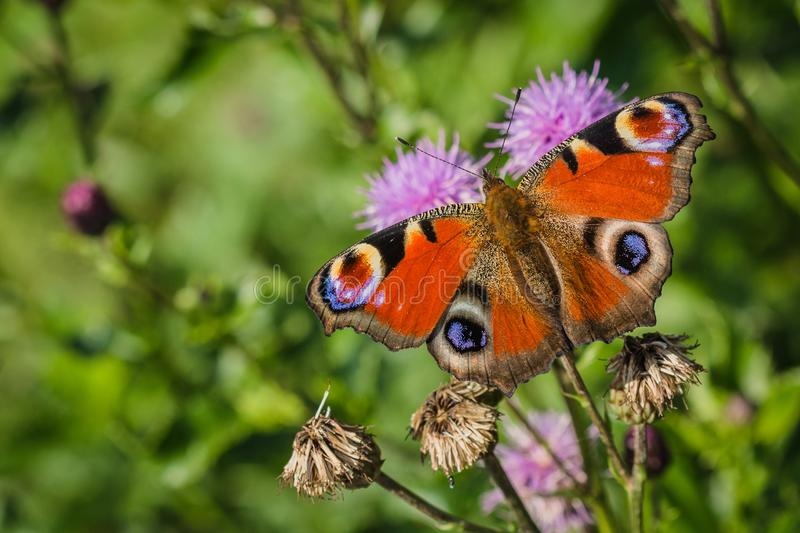 Colorful peacock butterfly on purple thistle royalty free stock photos