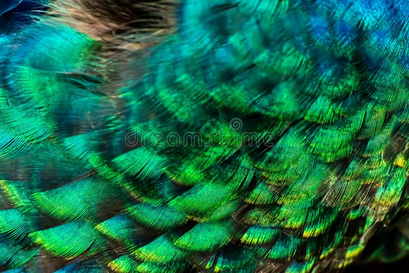 Colorful peacock feathers close-up background texture royalty free stock image