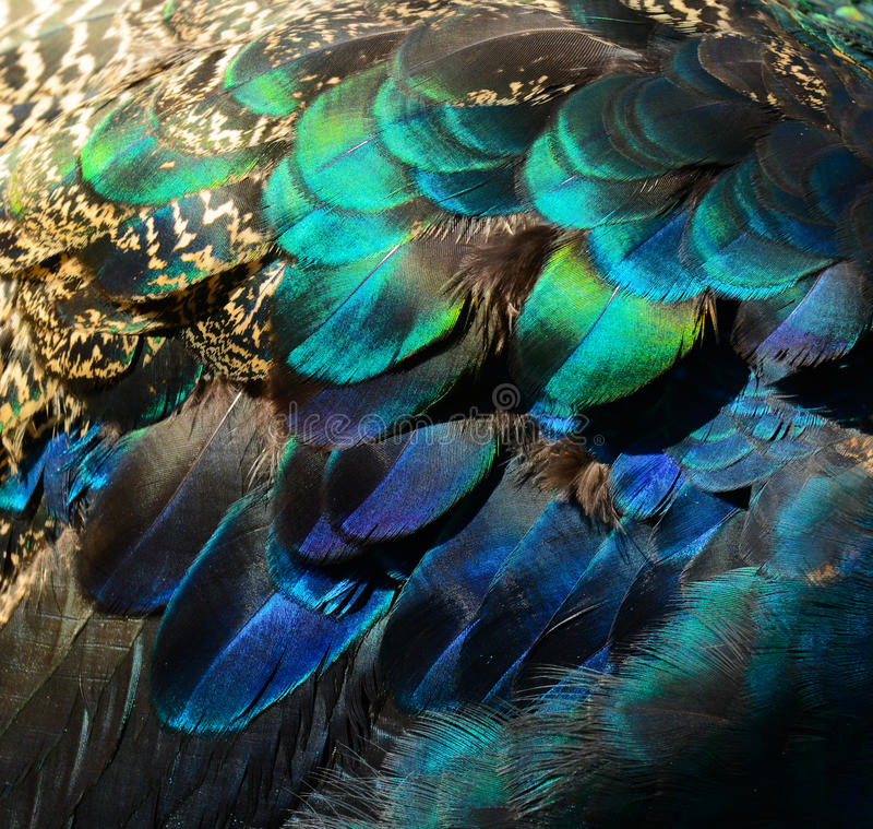 Colorful peacock feathers royalty free stock image