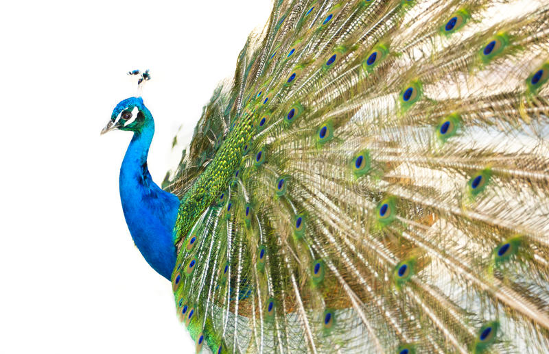 Download Colorful Peacock In Full Feather. Stock Photo - Image of bird, mating: 20819054