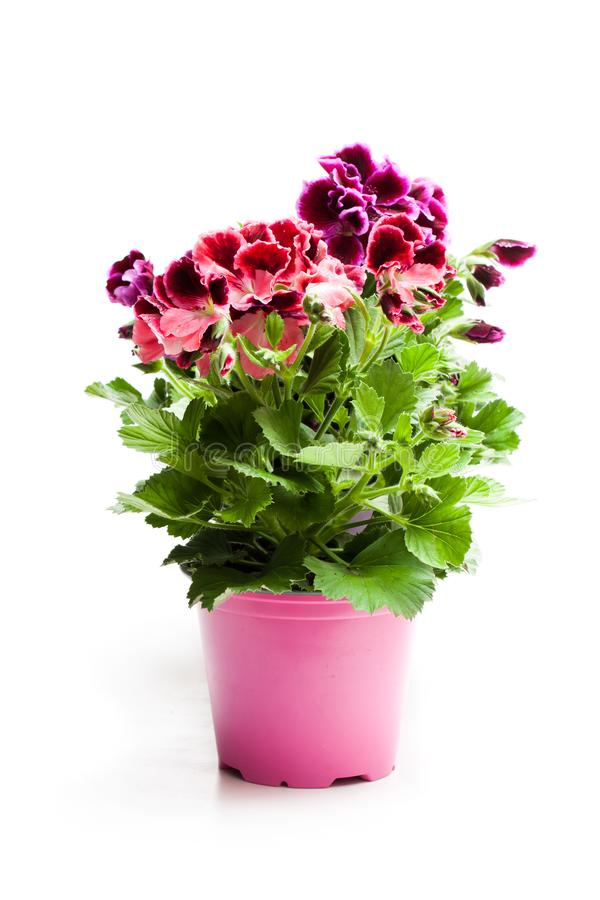 Colorful Pelargonium flowers in flowerpot isolated on white royalty free stock photos