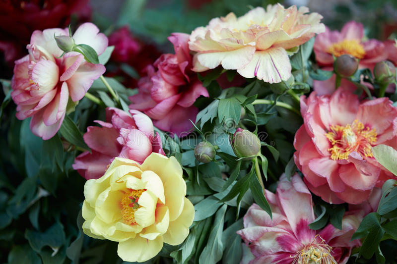Colorful peony flowers bunch with leaves stock photography