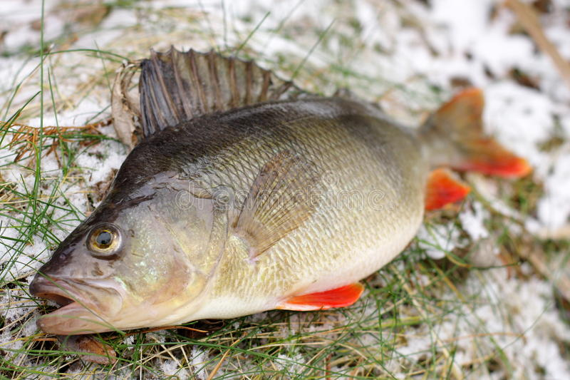 Download Colorful perch stock photo. Image of single, angle, fishing - 12763604