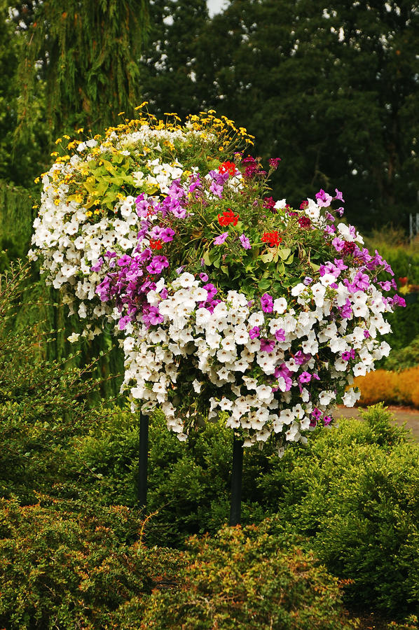 Free Colorful Petunias Royalty Free Stock Photo - 14271165