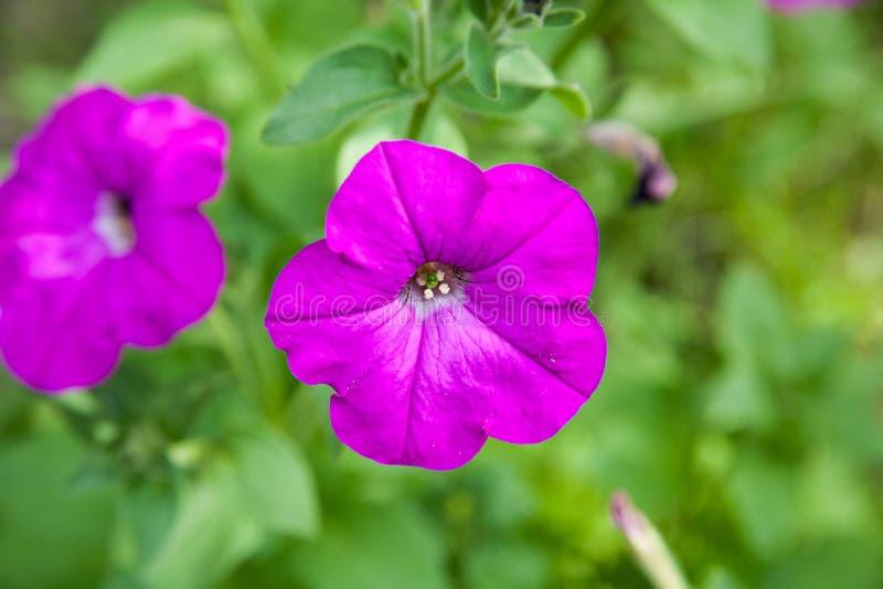 Colorful petunias close-up stock image