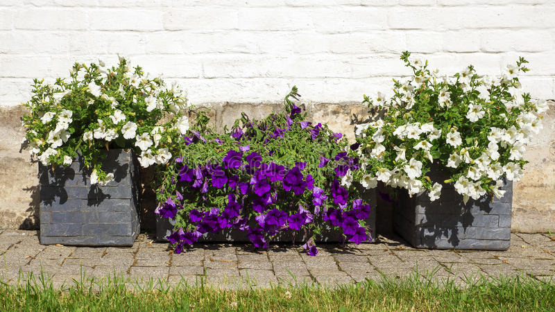 Colorful petunias in wooden tubs stock images