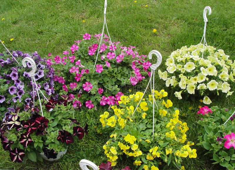 Colorful petunias and yellow pansy flowers in hanging flower pots on the grass royalty free stock photos