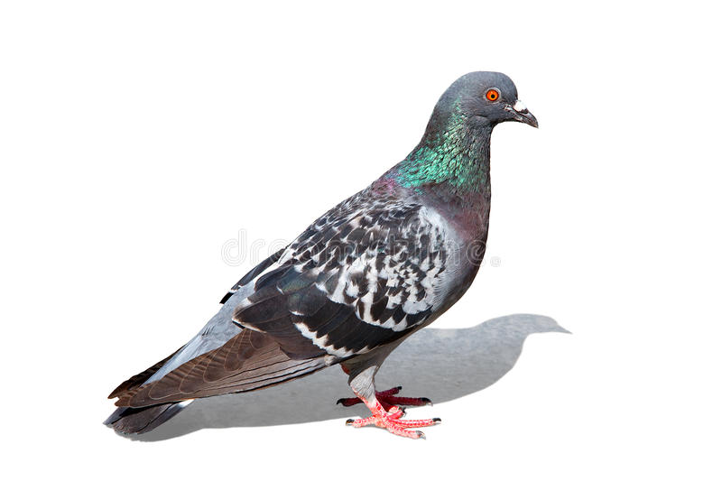 Colorful pigeon - clipping path stock images