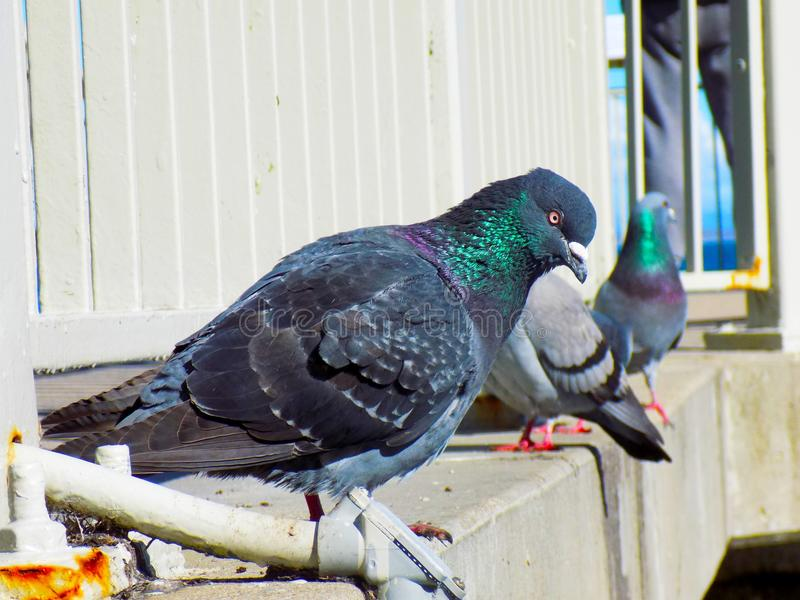 Colorful Pigeon stock photos