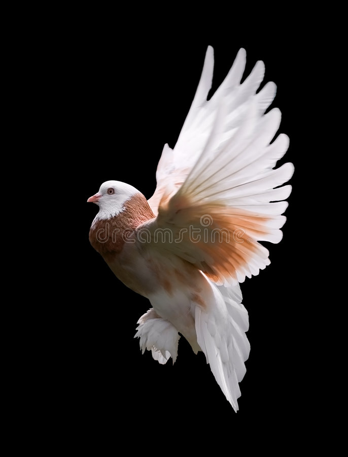 Colorful Pigeon in Flight. A free flying West of England Tumbler pigeon, isolated on a black background royalty free stock photos