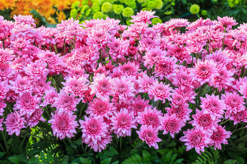 Colorful pink Aster flowers stock photography