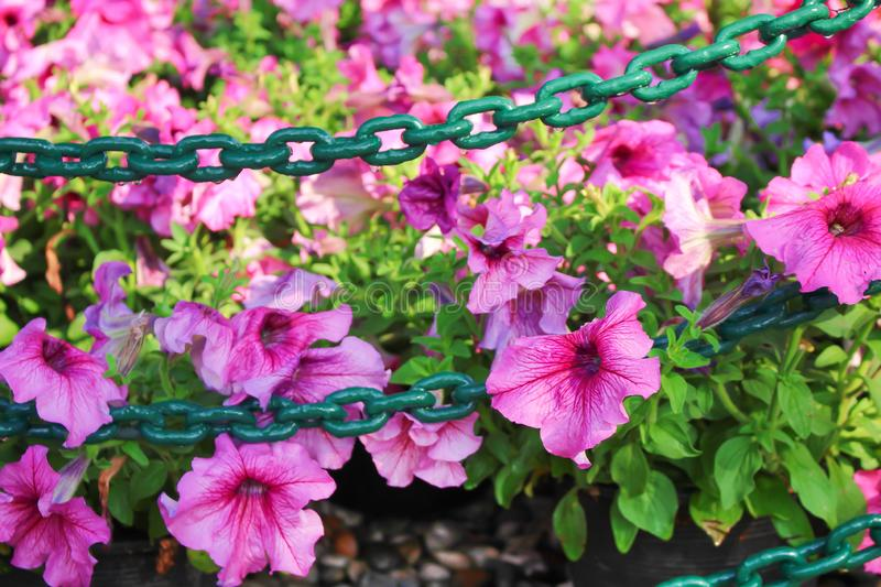 Colorful pink petunia hybrida flowers group blooming and steel chain hanging with water drops in garden stock photos