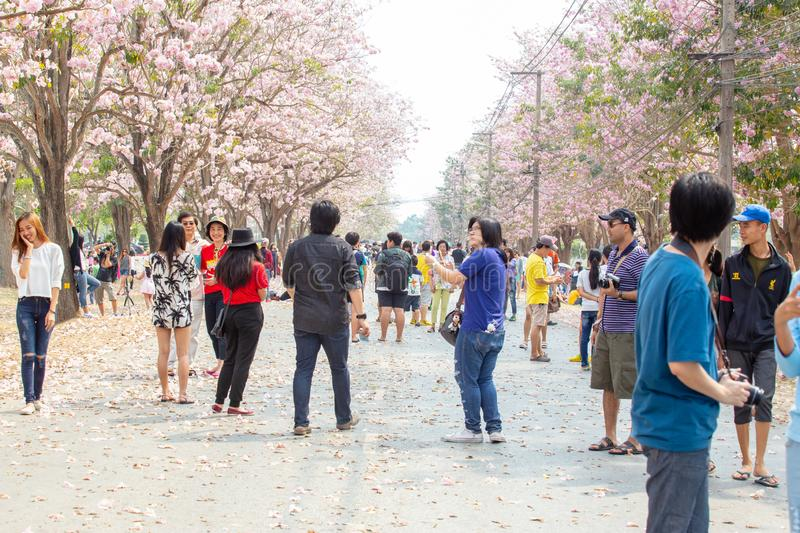 Colorful of Pink trumpet tree Tabebuia rosea blooming and people or traveller. royalty free stock photos