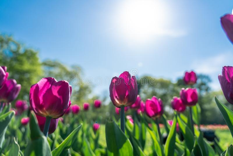 Colorful pink tulip flowering in the garden royalty free stock image