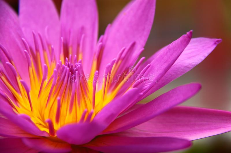 Colorful pink water lily stock photo