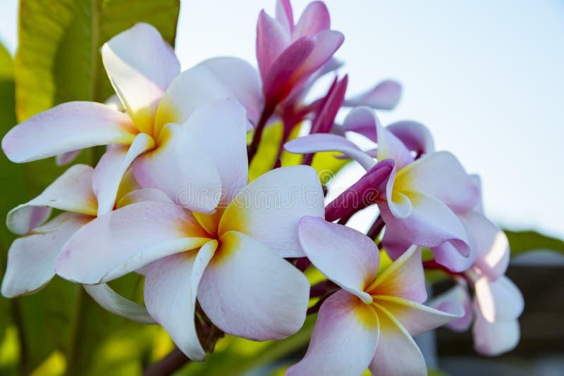 Colorful plumeria flowers royalty free stock photos