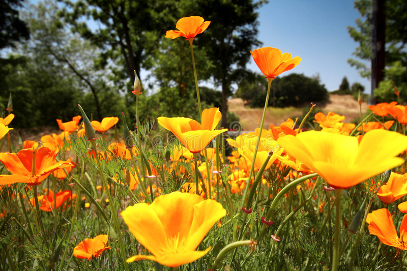 Colorful Poppies royalty free stock photos