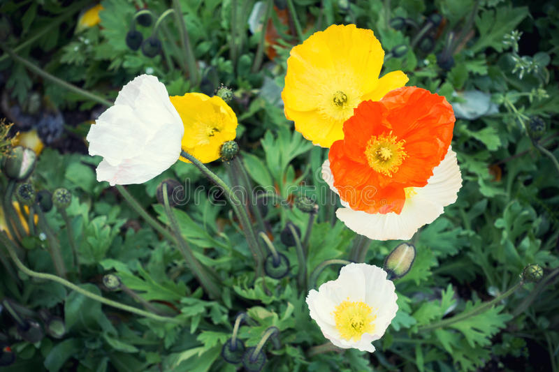 Colorful Poppies From Above stock photos