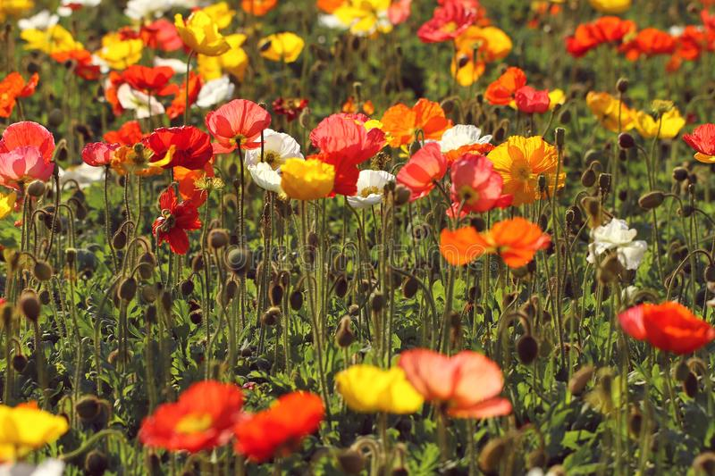 Colorful poppies in the garden royalty free stock image