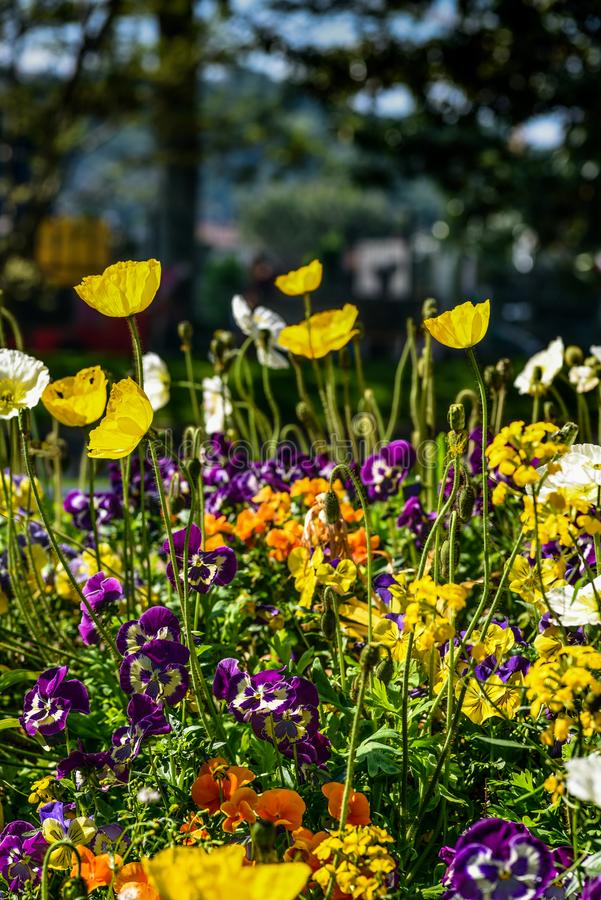 Colorful poppies and other flowers in a public garden. In spring royalty free stock photography