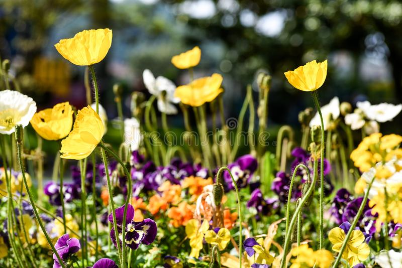 Colorful poppies and other flowers in a public garden. In spring stock images