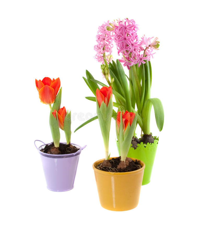 Colorful pots with orange tulips stock images