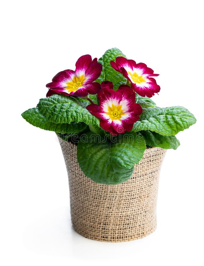 Colorful Primula flower in pot decorated with sackcloth isolated on white royalty free stock photos