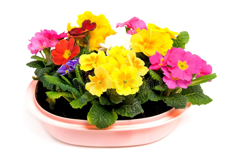 Colorful Primula flowers in pink pot stock photography