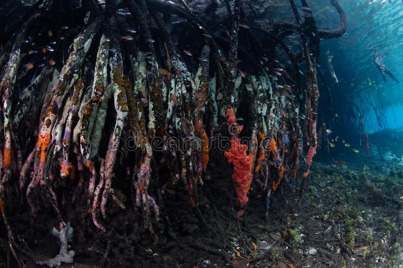 Colorful Prop Roots in Raja Ampat Mangrove. Curved mangrove prop roots, covered by sponges, grow in Raja Ampat, Indonesia. This remote region is home to an stock photo