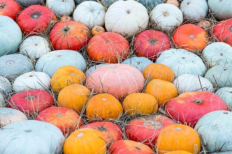 Colorful pumpkin biggest little red orange green many fruits background pattern autumn royalty free stock images