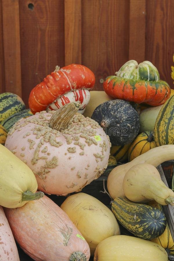 Free Colorful Pumpkins At The Pumpkin Patch Royalty Free Stock Photography - 101786327