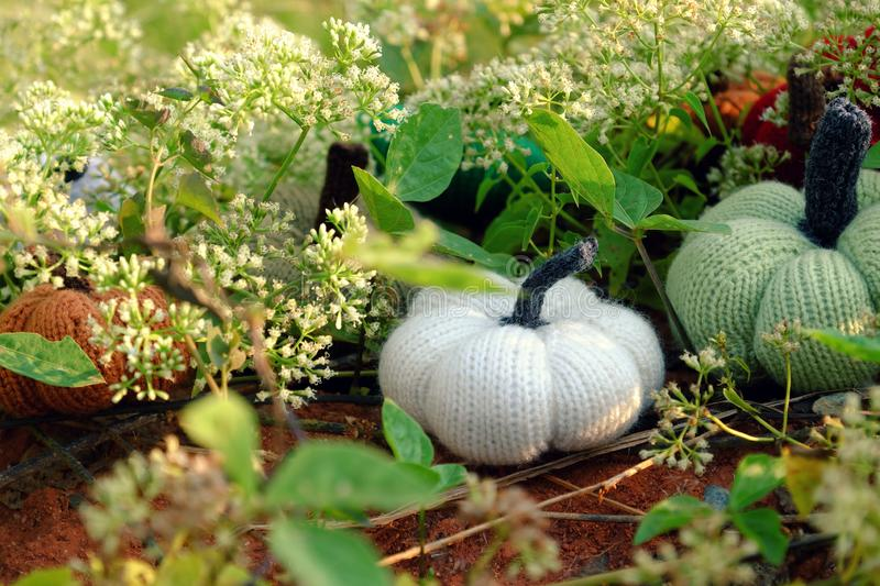 Colorful pumpkins in garden, handmade products by knit. Group of colorful pumpkins in garden, grass land with tiny flowers in white, handmade products for stock photo