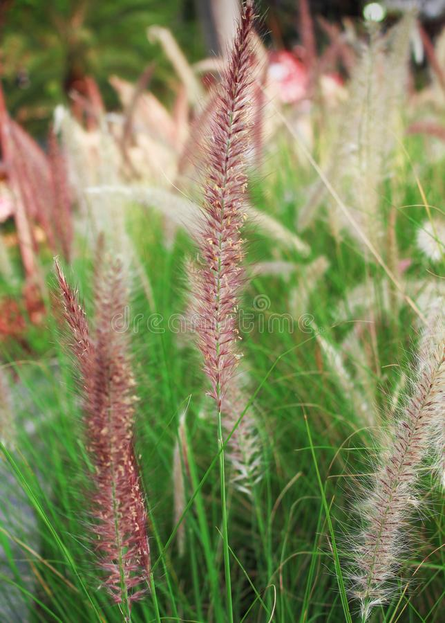 Colorful purple grass flower with green stem in garden stock image