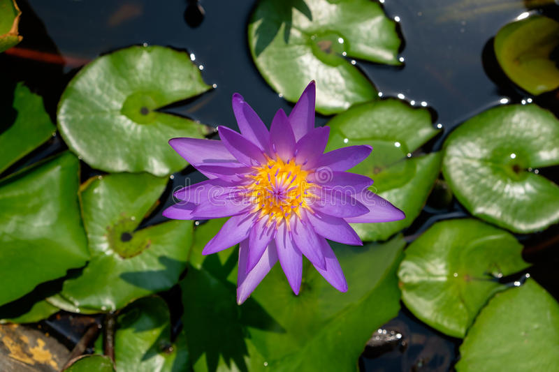 Colorful purple lotus blooming in the pond. Colorful purple lotus (water lily) blooming in the pond stock photography