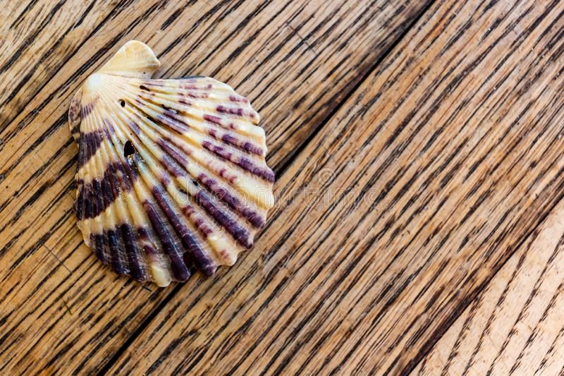Colorful rainbow seashell on rustic wood background royalty free stock image