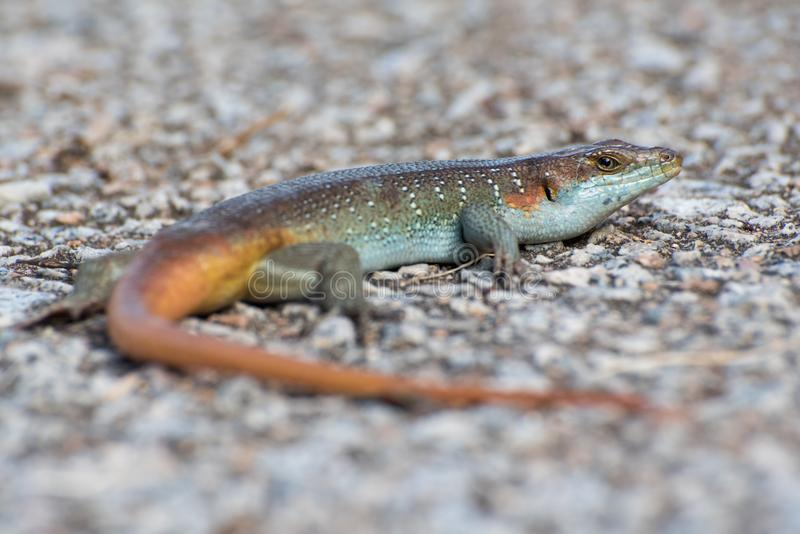 Colorful rainbow skink lizard close up lying on gravel ground stock image