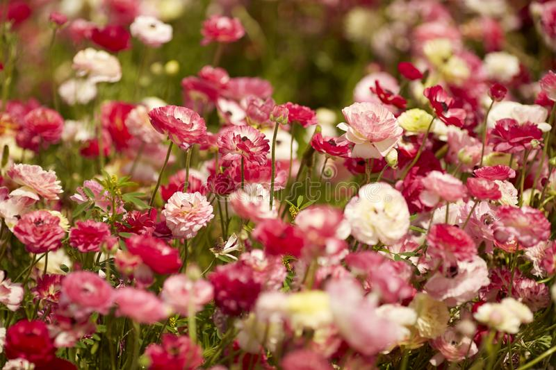 Colorful ranunkulus field in Israel. Persian buttercup blooming flowers.  royalty free stock images