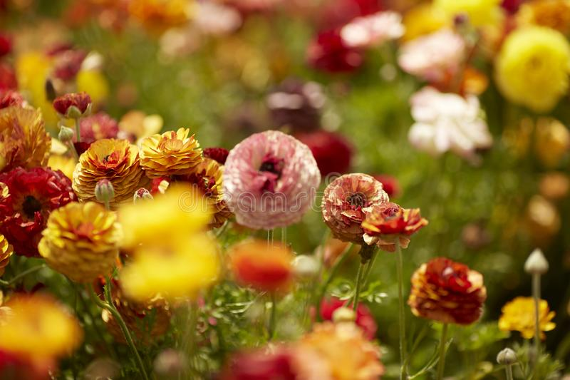 Colorful ranunkulus field in Israel. Persian buttercup blooming flowers.  stock photos