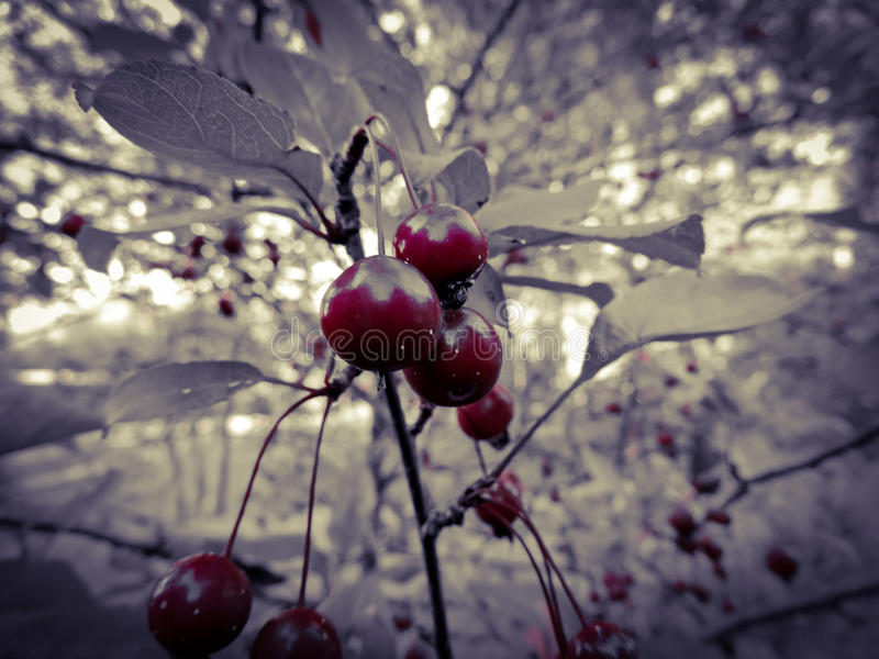 Colorful red cherry tree royalty free stock photography