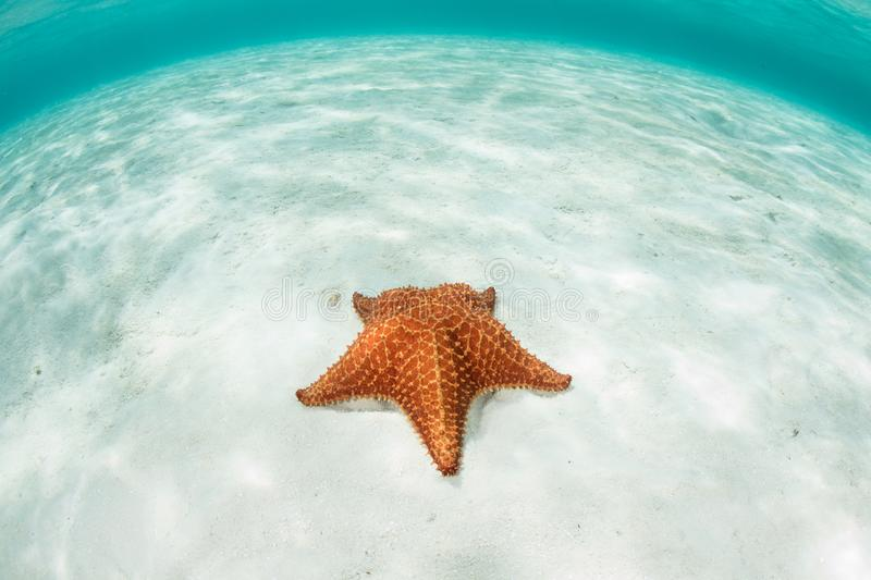 Starfish and Caribbean Sea. A colorful Red cushion sea star Oreaster reticulatus sits on a shallow sandy seafloor off the coast of Belize in the Caribbean Sea stock photos