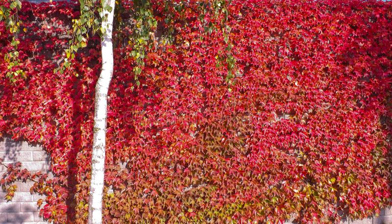 Colorful red and green, Fall Ivy Creeper on a panoramic wall. In autumn day royalty free stock photography