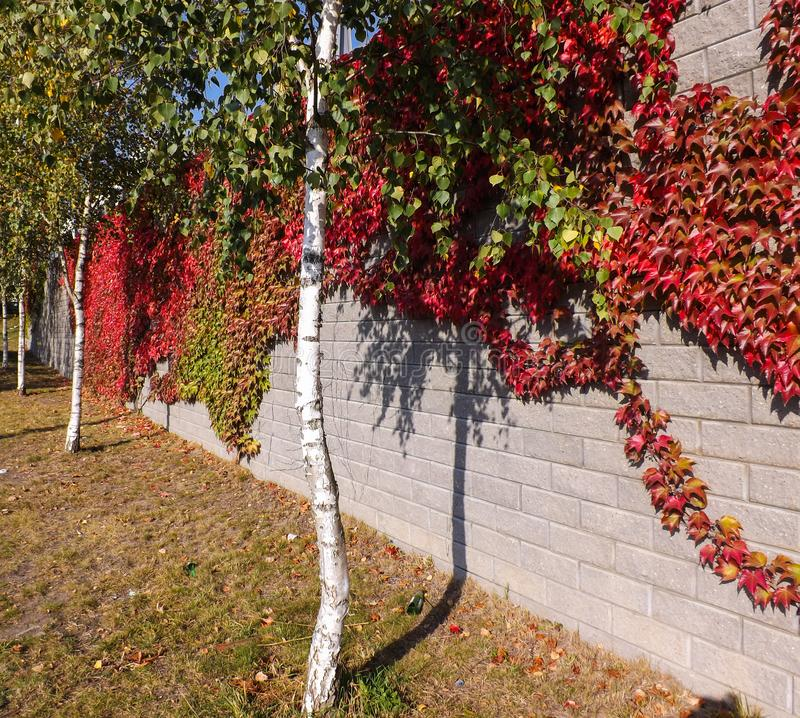 Colorful red and green, Fall Ivy Creeper on a panoramic wall. In autumn day stock photo