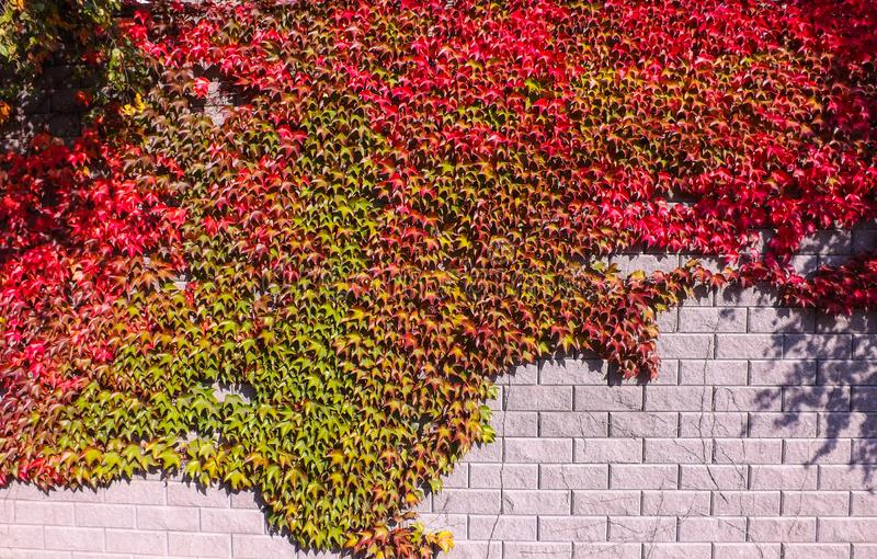 Colorful red and green, Fall Ivy Creeper on a panoramic wall. In autumn day royalty free stock photos