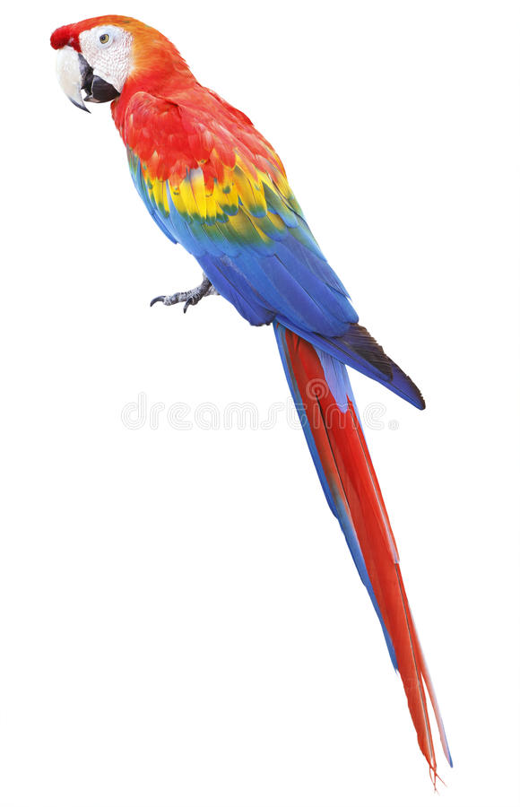 Colorful red parrot macaw stock photography