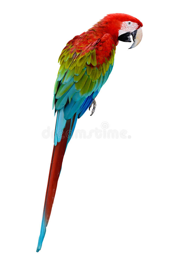 Colorful red parrot macaw. Isolated on white background