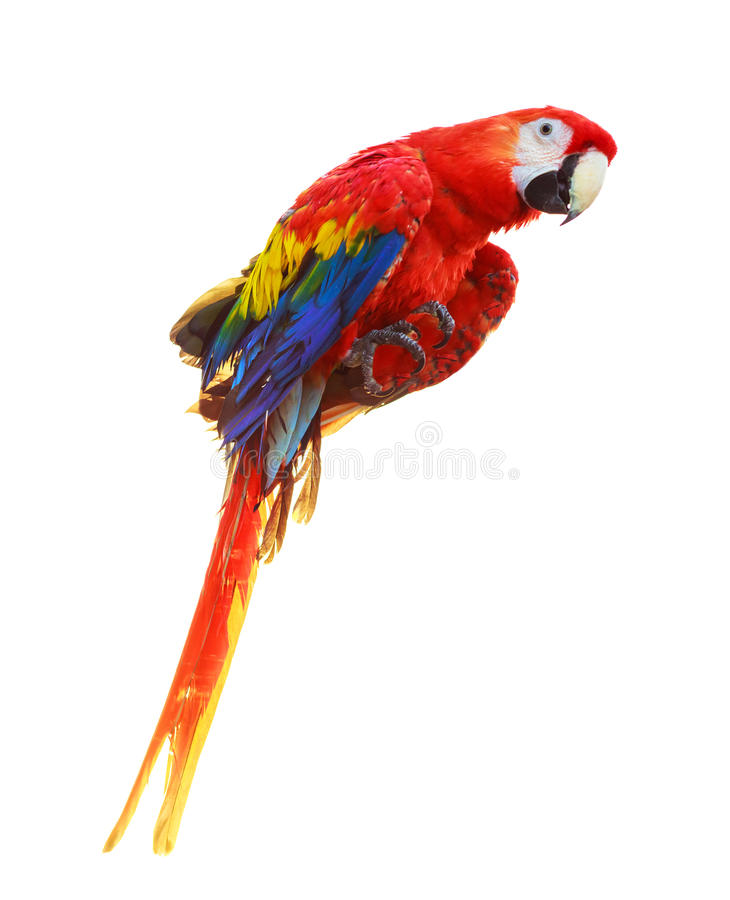 Colorful red parrot macaw isolated on white stock photo
